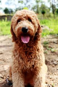 oodle dogs 54 best images about oodle groodle goldendoodle retrodoodle on