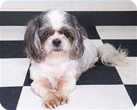 shih tzu rescue massachusetts china adopted sudbury ma shih tzu