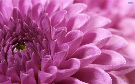 mums flower superb wallpapers chrysanthemum flower
