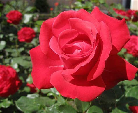 Renda Mawar S 2 khasiat dan manfaat bunga mawar yang baru terungkap 1001 manfaat alami kumpulan artikel
