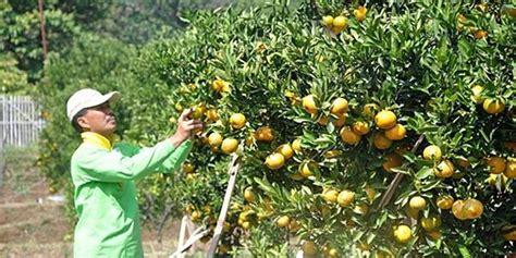 Jual Bibit Stroberi Bandung serunya memetik buah langsung dari pohonnya di kusuma