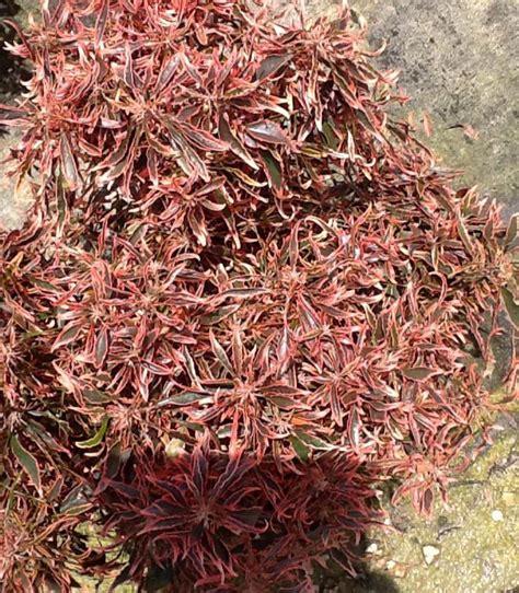 Acalypha Wilkesiana Blaze locate find wholesale plants plantant