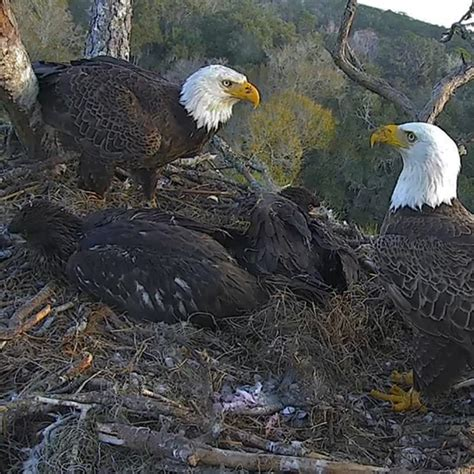 nefl eagle cam donation american eagle foundation