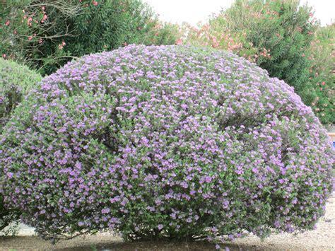 desert flowering shrubs purple plants tjs garden