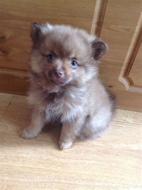 6 month pomeranian puppy caramel pomeranian puppy ready now blackpool lancashire pets4homes