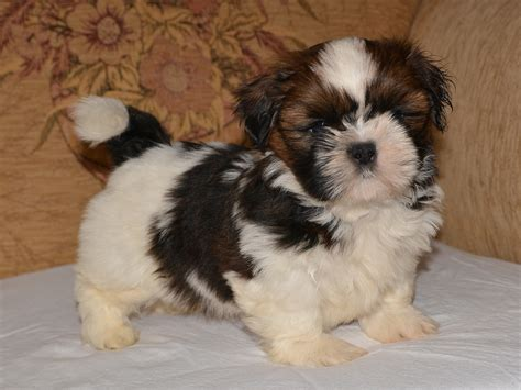 crate shih tzu puppy gerry shih tzu puppy for sale puppy