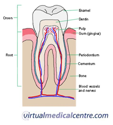 cross section of a tooth teeth adult permanent dentition myvmc