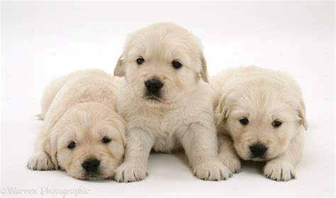 golden retriever 4 weeks dogs golden retriever pups 4 weeks photo wp20252