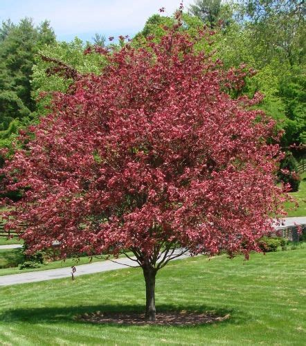 tri colored beech tri color beech saferbrowser yahoo image search results