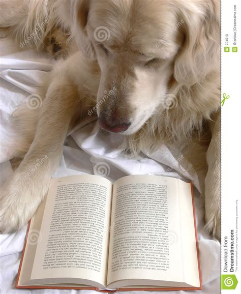 golden retriever reading reading book stock photo image 704010