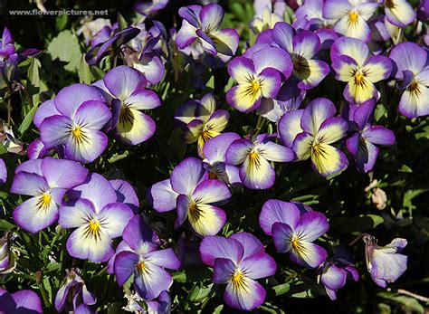 flower pictures pictures of flowers horned violet