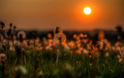 nature dandelion grass sunset flowers wallpapers hd