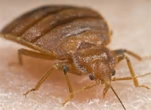 bed bugs pictures images of bed bugs bed bug bites and