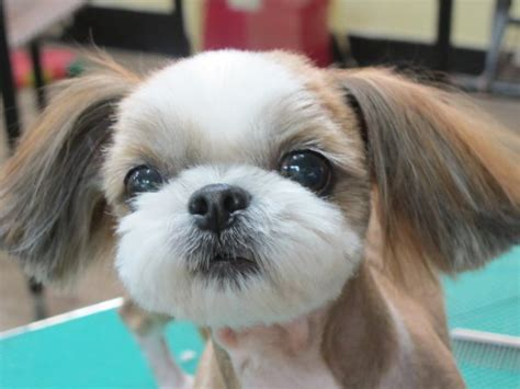 how to cut shih tzu hair at home with scissors shih tzu hair breeds picture