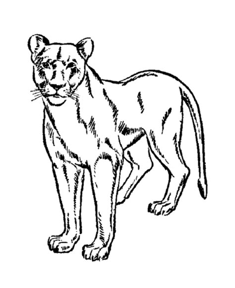 mountain lion coloring page coloring home
