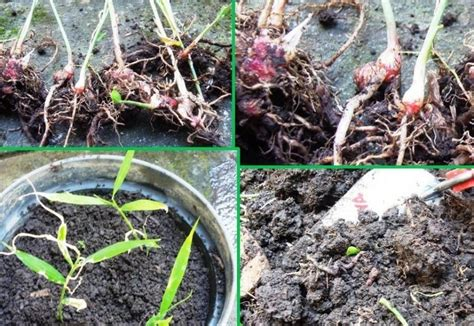 Jahe Merah 1kg tips sukses cara menanam jahe merah dilengkapi gambar dan