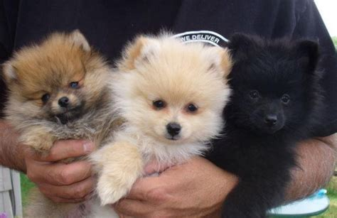 teacup pomeranian puppy teacup pomeranian puppy x2 x1 boy wrexham wrexham pets4homes