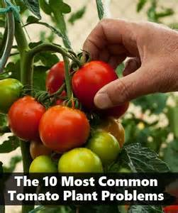 the 10 most common tomato plant problems flowers and garden pinte