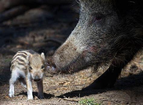 animals   offspring animals