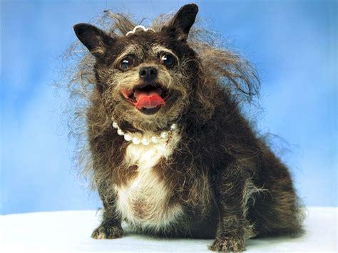 munchkin puppy munchkin 10 ugliest dogs in the world