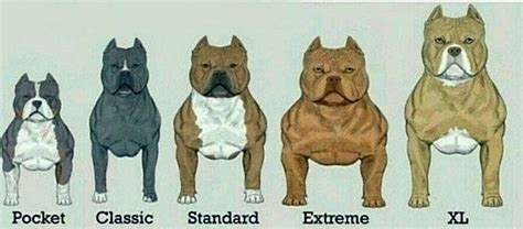 pitbull types what are the different types of pitbulls quora
