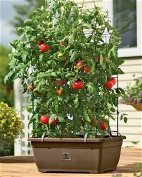 Patio Tomato Planter by Review Self Watering Tomato Planter For Growing Patio