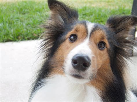 sheltie dogs shetland sheepdog sheltie clearview s jazz bruce kirkpatrick s