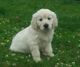 Golden retriever puppies cairndow argyll pets4homes