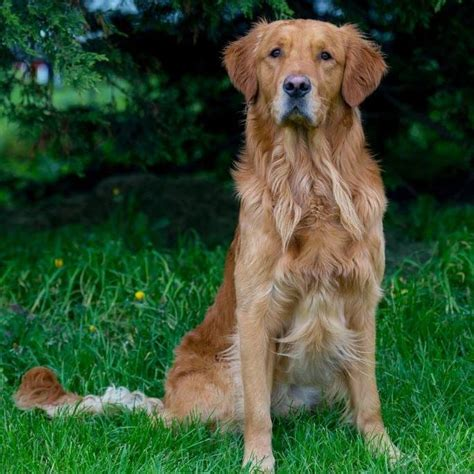 golden retriever dangerous golden retriever stud dogs golden retriever stud dogs available in the uk and europe