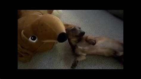 pug rescue scotia dachshund s mind is blown when he meets a stuffed wiener a s
