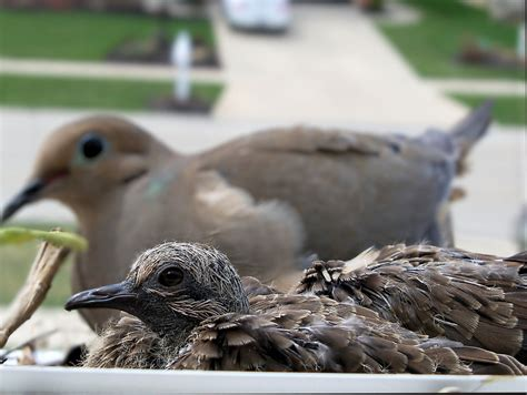 baby mourning doves update 04032010 baby mourning