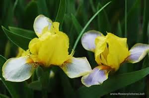 flower pictures iris flower gardens