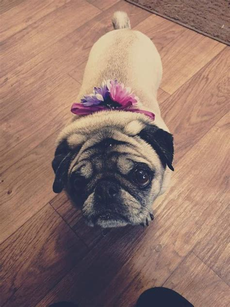8 year pug 83 best images about it s a pugs on pug meme most cutest and pug