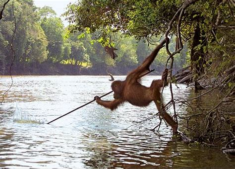 fishing with spear orangutan attempts to hunt fish with spear daily mail