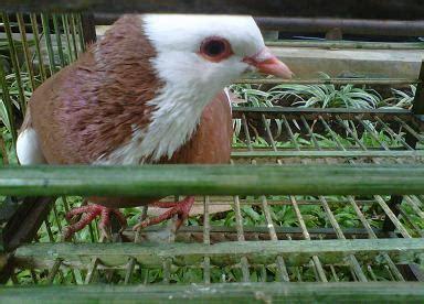 Jual Burung Kaskus terjual jual burung tinggian bandung kaskus
