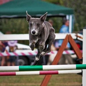 why are they called dogs agility obedience blogs