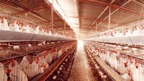 gabbie per galline ovaiole norma allevamento di galline dal 2012 vietato quello in gabbia
