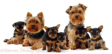 family yorkies dogs yorkie family photo wp09342