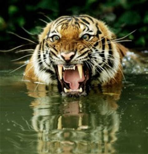 facts about the new year tiger royal bengal tiger bengal tiger facts profile photos