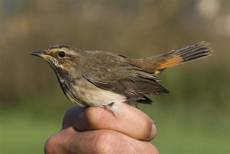 Nahrung Der Vögel 4079 by Ringing Beringung Birding And Bird Photography Leander