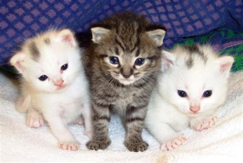 alimentazione gatti piccoli alimentazione vegana per gatti