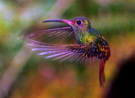k 233 ptal 225 lat a k 246 vetkezőre kolibri hummingbird