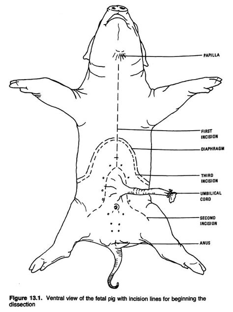 fetal pig diagram fetal pig diagram www pixshark images galleries