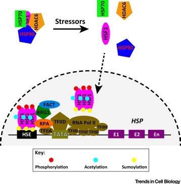 hsf1: guardian of proteostasis in cancer: trends in cell