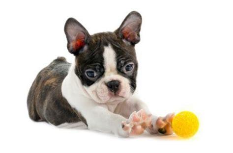 cagnolino da appartamento cani nani da appartamento cani di razza quali scegliere