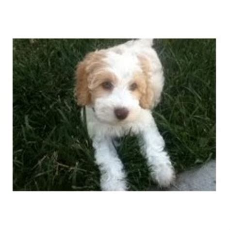 breeders nj labradoodle breeders nj