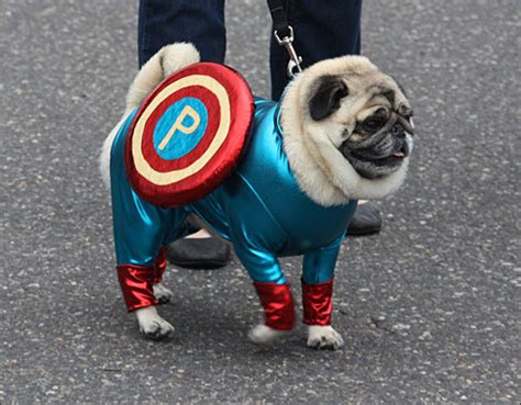 pugs in oklahoma picture why pugs are literally the cutest things on earth world of buzz