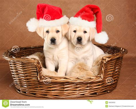 santa puppy santa puppies stock photography image 35629002
