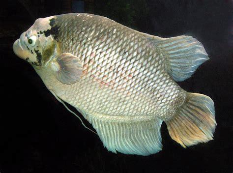 giant gourami fishes