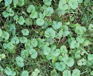Climbing Geranium Plants - the right products for tackling tough broadleaf weeds turf